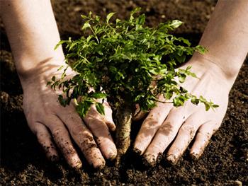 hands planting tree